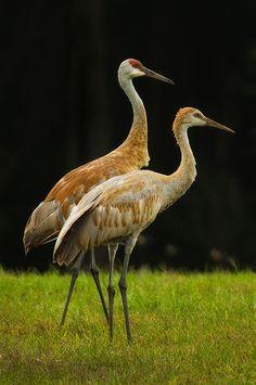 Sandhill Cranes (Grus canadensis) large cranes of North America and extreme Northeast Siberia. Kinds Of Birds, All Birds, Love Birds, Pretty Birds, Beautiful Birds, Animals Beautiful, Shorebirds, Big Bird, Bird Pictures