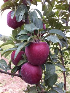 'Red Delicious' apples ready to be picked