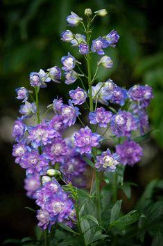 Blooming Flowers, Lavender Flowers, Purple Flowers, Delphinium Flowers, Delphiniums, Pom Pom Flowers, Blossom Garden, Short Plants, Deep Purple Color