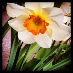 #daffodil #mygarden #flower
