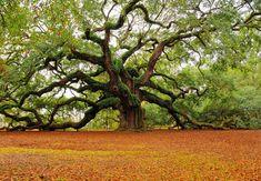 Charleston, South Carolina's Angel Oak
