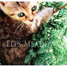 Juniper in the juniper tree.  {Eli's Meadows}