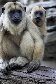 **Mother & Son Black Howler Monkey