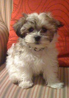 Teddy Bear dogs. I will get one soon :)
