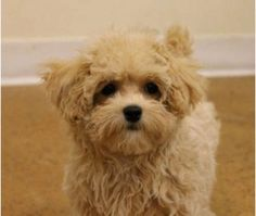 Maltipoo Alabama Images - Reverse Search