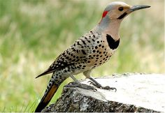 Bird Pictures: Northern Flicker (Colaptes auratus) by linthicum