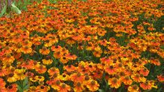 Dazzling orange heleniums create a wonderful mass of groundcover for this late summer show.