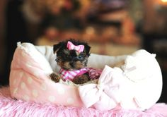 Teacup Yorkies For Sale, Teacup yorkie dogs Florida Teacup Yorkie For Sale, Yorkies For Sale, Dogs For Sale, Teacup Pomeranian, Teacup Dogs, Yorkie Puppy For Sale, Pomeranian Dogs, Tiny Puppies, Cute Little Puppies