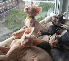And when Sphynx kittens congregate in groups, their cuteness easily distracts you from realizing the invasion has already begun. Cute Cats And Kittens, Kittens Cutest, Funny Kittens, White Kittens, Black Cats, Hairless Kitten, Ragdoll Kittens, Tabby Cats, Bengal Cats
