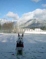Lillie der Jagervolk, an adoptable White German Shepherd Dog in Seattle, WA