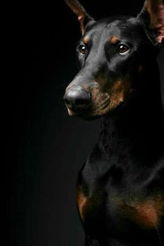 I want a Doberman so bad
