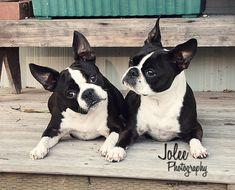 Boston Terriers. So cute! #boston #terrier #dogs #bostonterrier