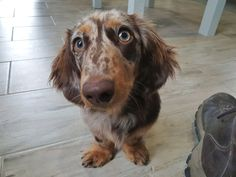 📸🐶 Helping his mom pack some orders Long Haired Dachshund, Dog Harness, Dog Photos, Long Hair Styles, Mom, Animals, Animales, Animaux, Long Hairstyle