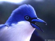Comoro Blue Vanga (Cyanolanius comorensis)