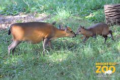 Red-flanked duiker calf born at Brookfield Zoo on Sept. 8, 2013
