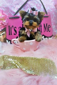 Some of the Tiniest, Most Beautiful Teacup Yorkie Puppies in the World! Teacup Yorkie and Small Toy Yorkies for Sale. Micro Teacup Yorkie, Teacup Yorkie For Sale, Cute Teacup Puppies, Yorkies For Sale, Yorkie Puppy For Sale, Super Cute Puppies, Cute Dogs And Puppies, Yorkie Puppies, Chihuahua