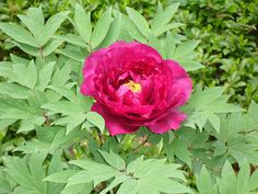 9 basic rules of PEONY CARE: Types of Peony Flowers:  Home and Garden: