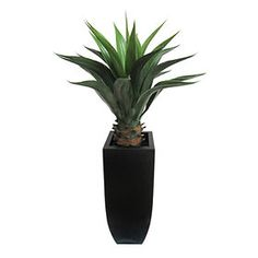 Picture of Agave in Black Pot