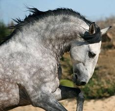 andalusian horse face