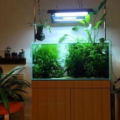 ただいま。 ボンヤスミ、ほしーとぼやきつつ、ソファーでごろり。ソファーからの眺めです。  昨日結構ミクロとボルビトリミングしたのに、まだ密度高すぎる気がする。ミクロが大きく育ちすぎてバランスが悪くなるんだよね  #aquarium #aquascape #aquaplants #natureaquarium #interiorgreen #アクアリウム#ネイチャーアクアリウム #熱帯魚 #水草水槽