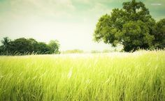 Grassy Field HD Wallpaper