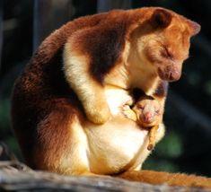 goodfellows tree kangaroo mom and joey melbourne zoo