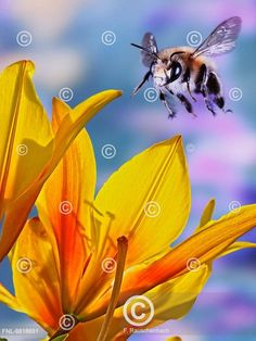 Bee flying Bees, Cute, Animals, Honey Bees, Animales, Animaux, Kawaii, Animais, Animal