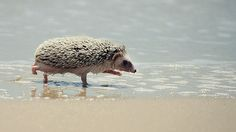Hedgehog...on the beach?!