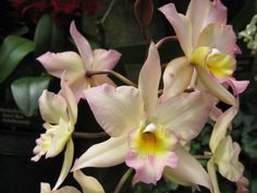 "Orchid ""Appleblossom Hihimanu""? 