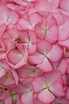https://flic.kr/p/7zrcnQ | 41676 | Beautiful pink flowers of hydrangea macrophylla 'eline'