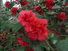 Camellia japonica 'Aunt Jetty' AKA 'Red Governor Mouton' (U.S., by 1941)