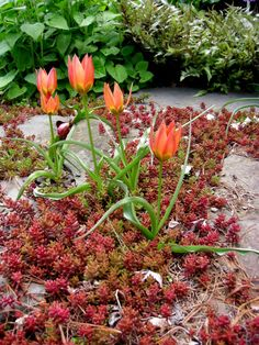Tulipa 'Little Princess' with the cool-weather color of Sedum album; Carolyn Walker at Carolyn's Shade Gardens
