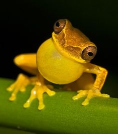 Yellow: the color of sunshine, lemons, bananas, and a surprising variety of animals. Though you may call them Mellow Yellow (quite rightly), these warmly tinted creatures don't take their hues lightly - and neither should you. Beautiful Creatures, Animals Beautiful, Cute Animals, Funny Animals, Wild Life, Yellow Animals, Cute Frogs, Funny Frogs, Frog And Toad