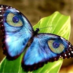 Take a look at this amazing Beautiful Butterfly Wings Illusion illusion. Browse and enjoy our huge collection of optical illusions and mind-bending images and videos. - Take a look at this amazing Beautiful Butterfly Wings Illusion illusion. Most Beautiful Butterfly, Beautiful Bugs, Beautiful Pictures, Cool Insects, Bugs And Insects, Butterfly Painting, Butterfly Wings, Butterfly Kisses, Beautiful Creatures