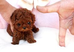 Find the perfect Toy Poodle puppies from all over the world! Micro Teacup Poodle, Teacup Poodle Puppies, Poodle Puppies For Sale, Tea Cup Poodle, Cute Puppies, Teacup Dogs, Miniature Pomeranian, Micro Teacup Puppies, Small Puppies