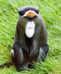 **De Brazza's Monkey