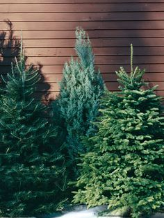 Carolina Sapphire Cypress This Southern Dweller Is Naturally Broad And Has A Strong Scen Christmas Tree Varieties Types Of Christmas Trees Christmas Tree Farm