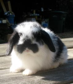 Holland lop our new bunny jax looks just like this. http://omnirabbit.com