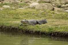 Alligator Photos Alligator resting on a bank by a pond. by Christy Murry