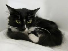 Safe - 7-12-2016 Brooklyn SUPER URGENT- Brooklyn Center  Dijion – A1077981  FEMALE, BLACK / WHITE, DOMESTIC MH MIX,8 mos STRAY – STRAY WAIT, NO HOLD Reason STRAY Intake condition EXAM REQ Intake Date 06/18/2016, From NY 11214, DueOut Date 06/21/2016,
