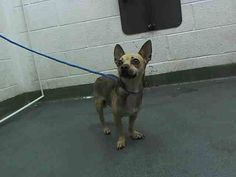 LILI (A1645953) I am a female tan and black Chihuahua - Smooth Coated.  The shelter staff think I am about 4 years old.  I was found as a stray and I may be available for adoption on 09/24/2014. — Miami Dade County Animal Services. https://www.facebook.com/urgentdogsofmiami/photos/pb.191859757515102.-2207520000.1411328441./842742882426783/?type=3&theater
