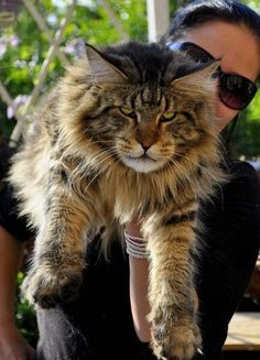Maine Coon http://www.mainecoonguide.com/maine-coon-temperament/