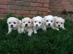 Shih-poo - Cockapoo Pups