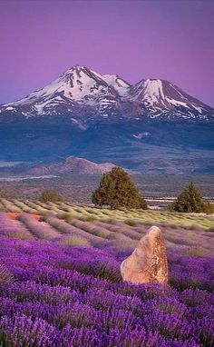 Lavender Fields.. Shasta Valley, Siskiyou County, California, U.S | by Sean Bagshaw