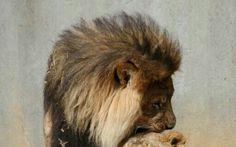 Love Lion