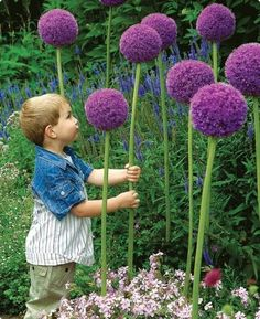 Growers of Dutch bulbs & perennials since K. van Bourgondien and wholesale flowers go hand in hand. Flores Allium, Allium Flowers, Bulb Flowers, Planting Flowers, Planting Bulbs, Flowers Garden, Garden Soil, Garden Landscaping, Garden Plants