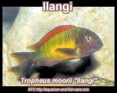 Tropheus moorii - Ilangi