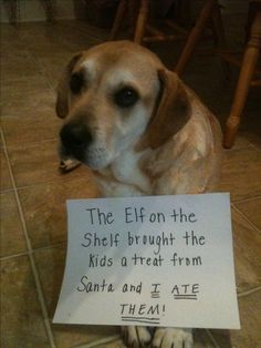 The Elf on the Shelf brought the kids treast from Santa and I ATE THEM! ~ Dog Shaming shame - Labrador