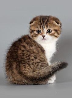 Scottish Fold Kitten.... Death death death to my heart!