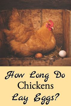 How long chickens lay eggs describes the key variables in how long chickens lay eggs and what breeds you might want to consider depending on how long you want your chickens to lay eggs. Backyard Poultry, Chickens Backyard, Chicken Feed, Chicken Eggs, Chicken Incubator, Nigerian Dwarf Goats, Raising Chickens, Coops, Hens